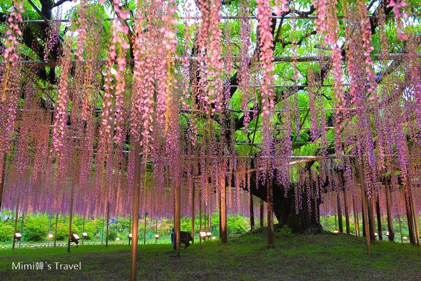 【東京出發】足利公園紫藤花&茨城海濱公園粉蝶花一日遊:免看交通,這樣玩法更輕鬆