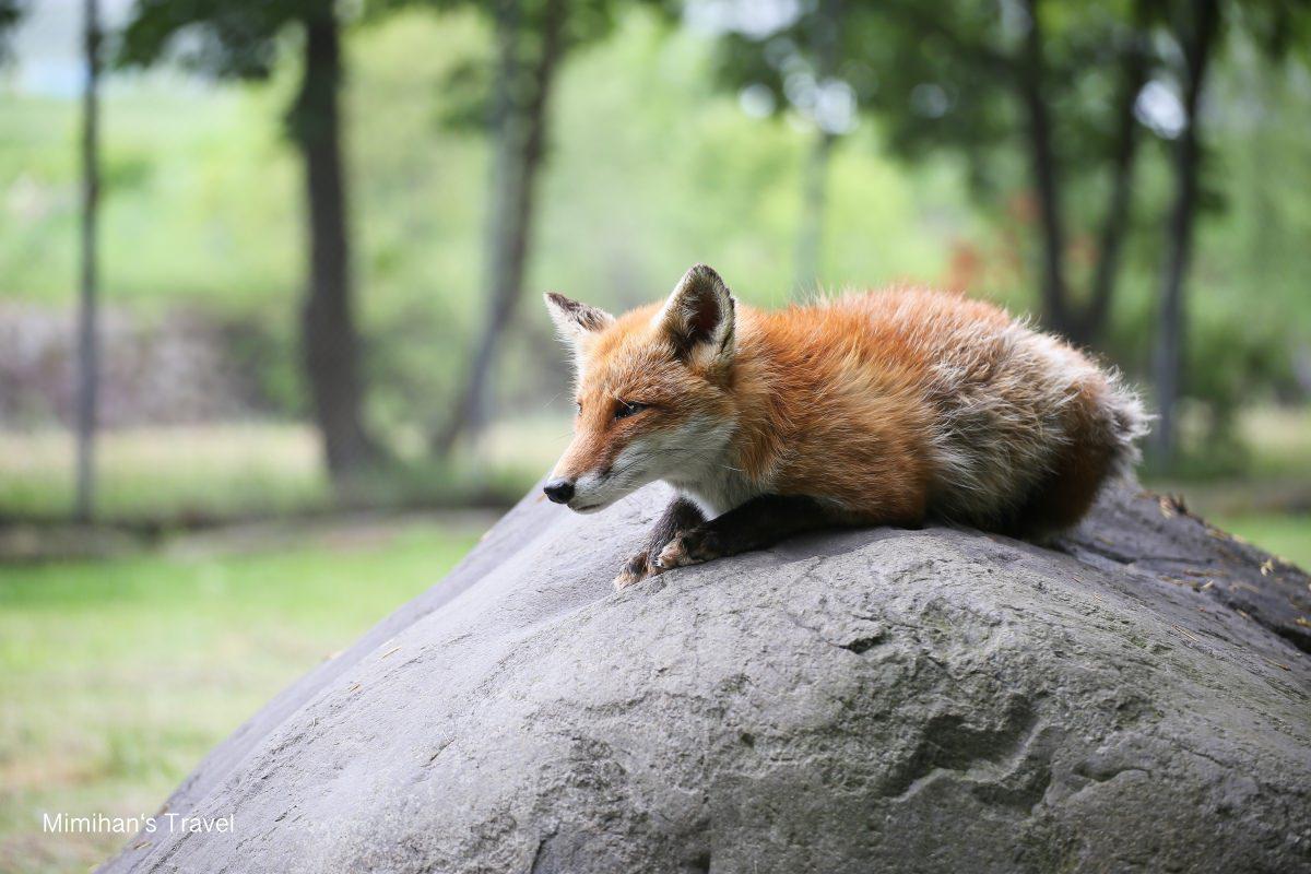 【北海道北見】北狐牧場:北きつね牧場交通&票價整理,超可愛狐狸村,一股子狐騷味