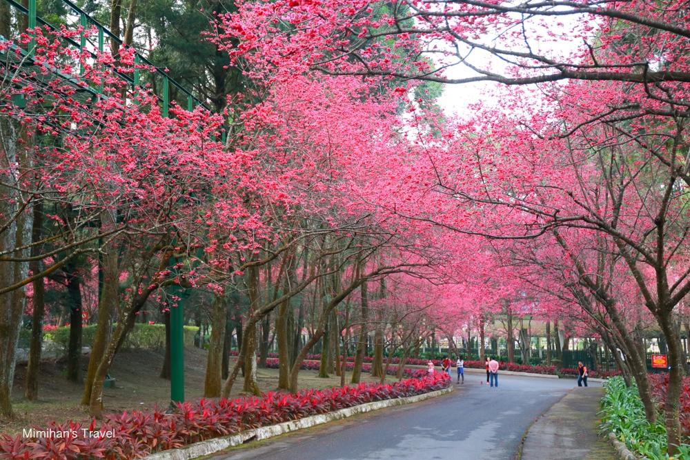 九族文化村櫻花