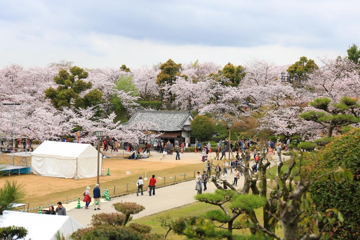 姬路城櫻花