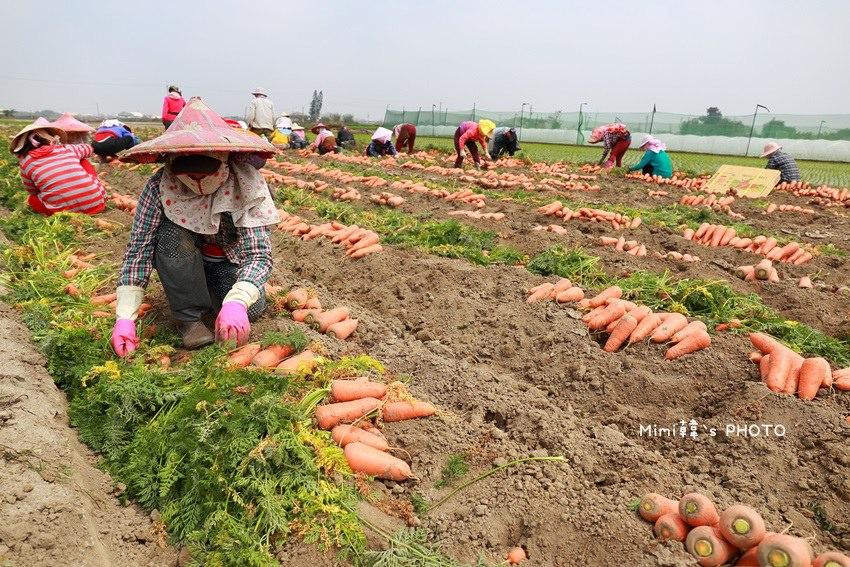 台南將軍採蘿蔔5.JPG