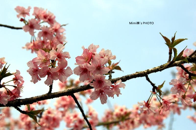 小半天櫻花21.JPG